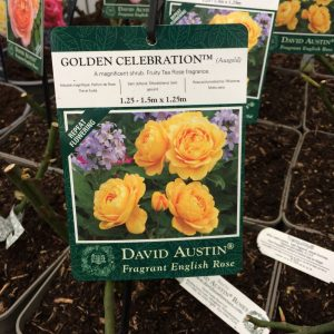 Rose David Austin 'Golden Celebration'