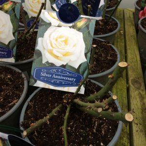 Rose Hybrid Tea 'Silver Anniversary'