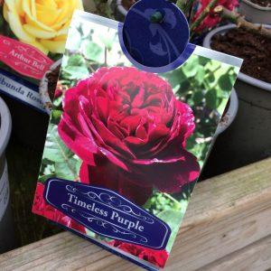 Rose Hybrid Tea 'Timeless Purple'