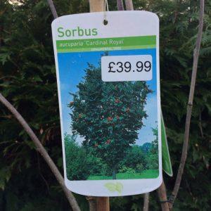 Sorbus Aucuparia 'Cardinal Royal'