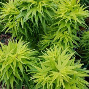 Acer palmatum 'Mikawa Yatsubusa' Standard