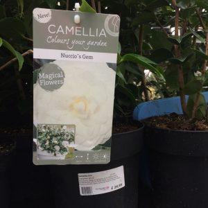 Camellia 'Niccio's Gem'