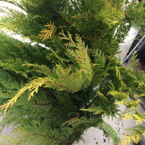 Chamaecyparis lawsoniana 'Stardust' (columnar habit)