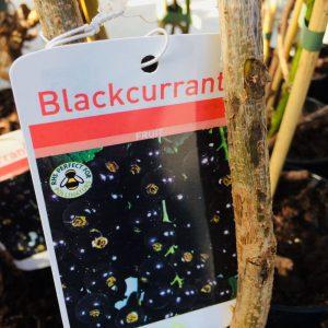 Fruit Blackcurrant 'Ben Connon'