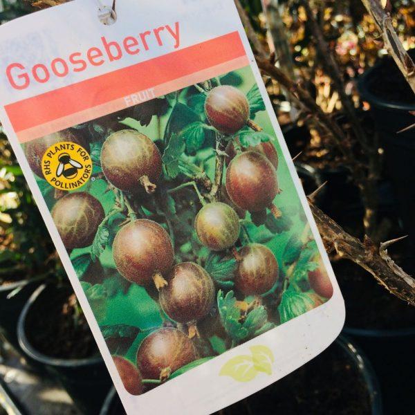 Fruit Gooseberry 'Black Velvet'