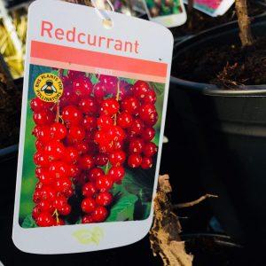 Fruit Redcurrant 'Rovado'