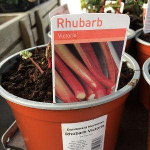 Fruit Rhubarb 'Victoria'