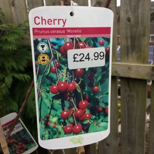 Fruit Tree Cherry 'Prunus cerasus Morello'