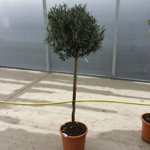 Olea europaea Olive (on stem) 140cm