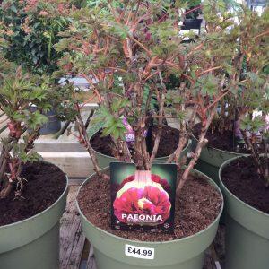 Paeonia Suffruticosa 'Dark Red'