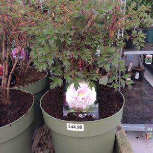 Paeonia Suffruticosa 'Light Pink'