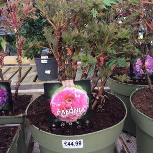Paeonia Suffruticosa 'Pink'