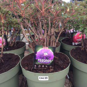 Paeonia Suffruticosa 'Purple'