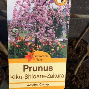 Prunus Kiku-Shidare-Zakura (Weeping Cherry)