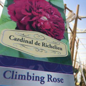 Rose Climbing 'Cardinal de Richelieu'