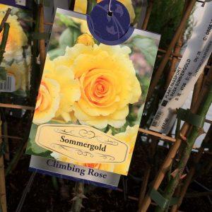 Rose Climbing 'Sommergold'