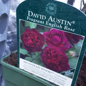 Rose David Austin 'Munstead Wood'