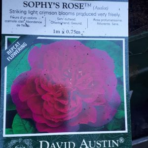 Rose David Austin 'Sophy's Rose'