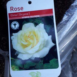 Rose 'Elina (Dicjana)'