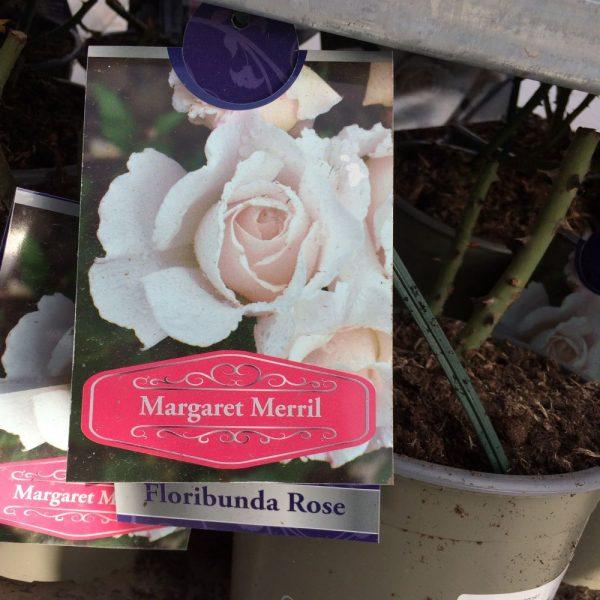 Rose Floribunda 'Margaret Merril'