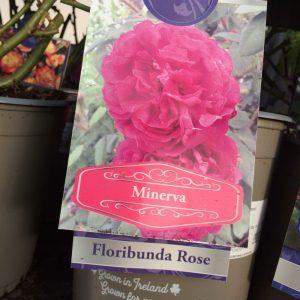 Rose Floribunda 'Minerva'