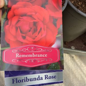 Rose Floribunda 'Remembrance'