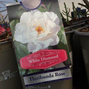 Rose Floribunda 'White Diamond'