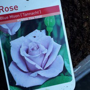 Rose Hybrid Tea 'Blue Moon (Tannacht)'