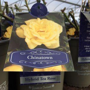 Rose Hybrid Tea 'Chinatown'