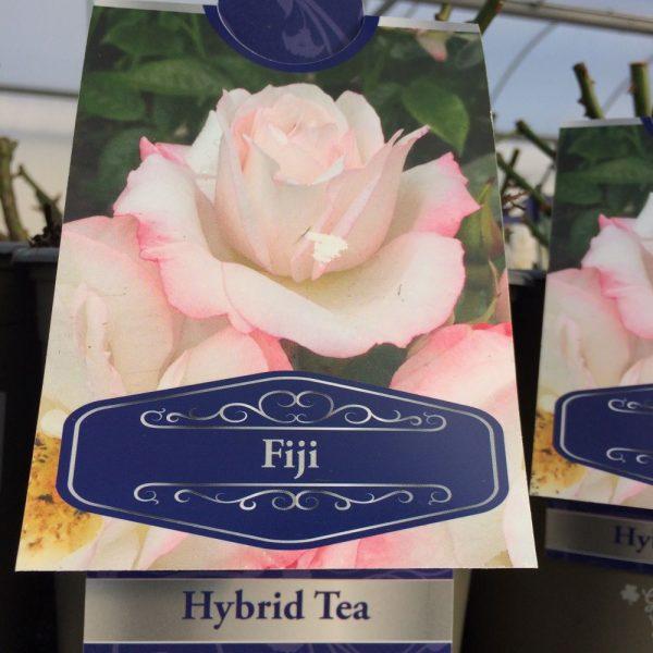 Rose Hybrid Tea 'Fiji'