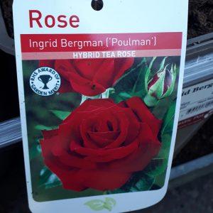 Rose Hybrid Tea 'Ingrid Bergman (Poulman)'