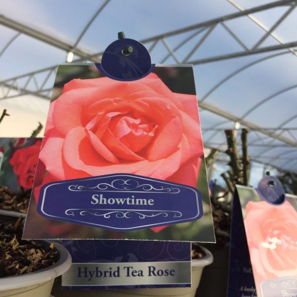 Rose Hybrid Tea 'Showtime'