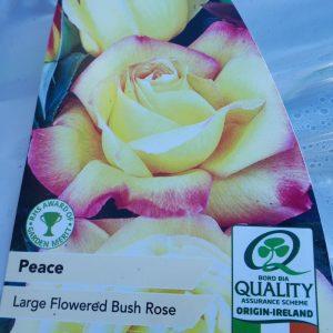 Rose Large Flowered Bush 'Peace'