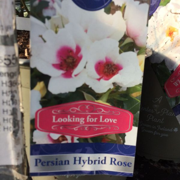 Rose Persian Hybrid 'Looking for Love'