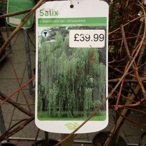 Salix x sepulcralis var. chrysocoma