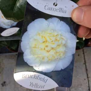 Camellia 'Bruchfield Yellow'