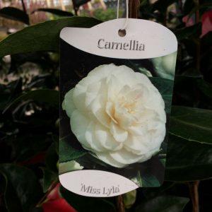 Camellia 'Miss Lyla'
